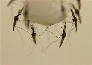 New Eco Repellent Against Malaria Mosquitoes